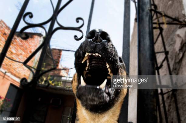 A snarling dog thrusting his head through a metal fence