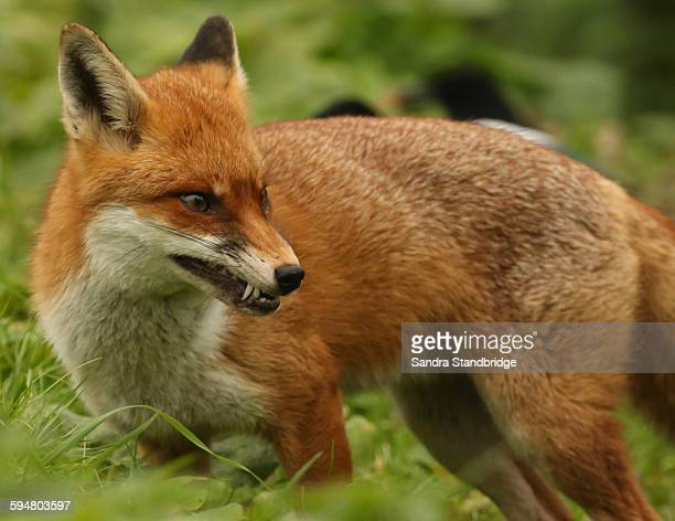 a snarling fox. - red fox stock photos and pictures