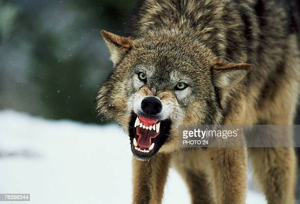 snarling gray wolf - fang stock pictures, royalty-free photos & images