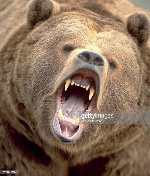 snarling grizzly bear - grizzly bear stock photos and pictures