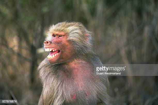 Snarling Hamadryas Baboon