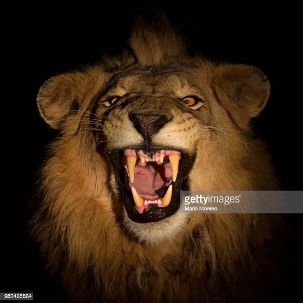 a snarling lion at kruger national park in south africa. - 自然保護区 ストックフォトと画像