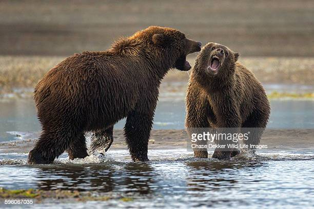 snarling - grizzly bear stock photos and pictures