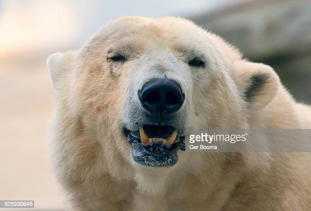 Snarling Polar Bear