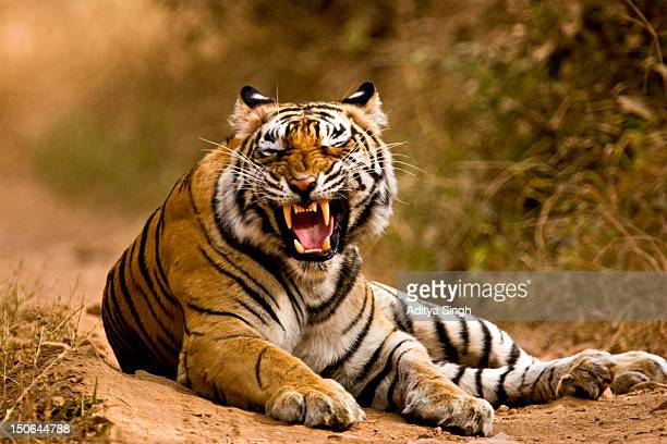 snarling tiger - bengal tiger stock pictures, royalty-free photos & images