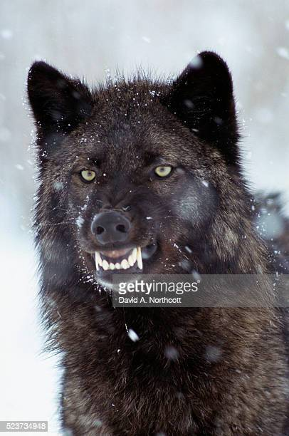 snarling timber wolf - black wolf stock pictures, royalty-free photos & images