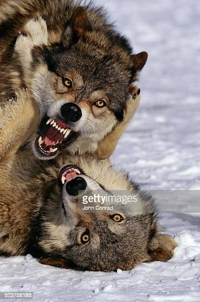 Snarling Timber Wolves