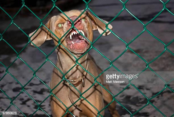 Snarling Weimaraner Dog