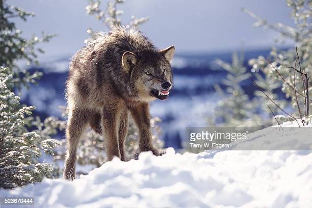 snarling wolf - aggression stock pictures, royalty-free photos & images