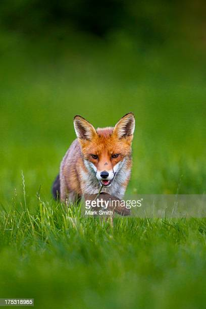 Sneaky Red Fox (Vulpes Vulpes)