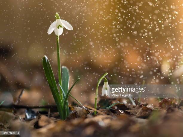 sneeze of spring - snowdrop stock pictures, royalty-free photos & images