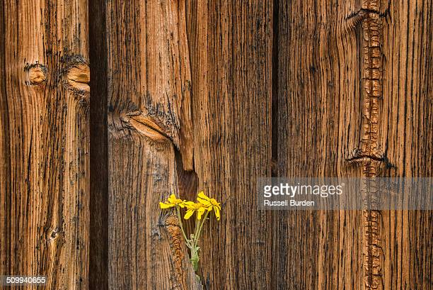 Sneezeweed in old wood, Colorado