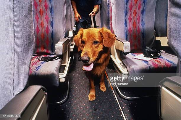 Sniffer dog at work on passenger plane