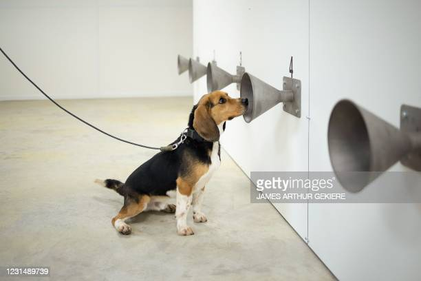 """Sniffer dog Sammy takes part in a training to detect the Covid-19 , at """"K-9"""" Detection center, in Bredene, western Belgium, on March 3, 2021. /..."""