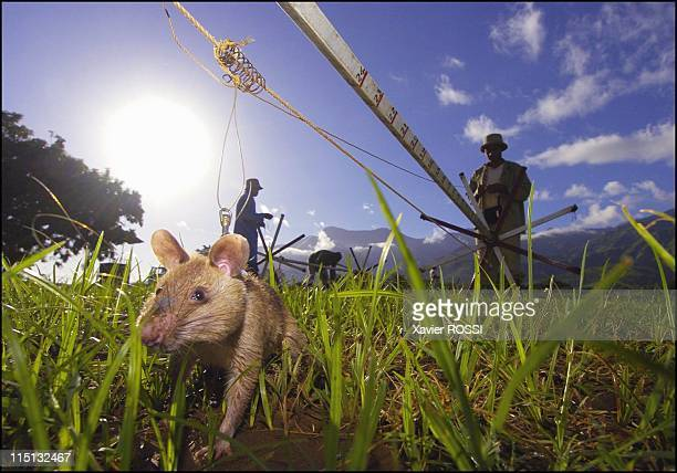 Sniffer rats trained to find landmines in Tanzania on May 03 2004 Rats training on a wheel to learn how to move on a field with landmines