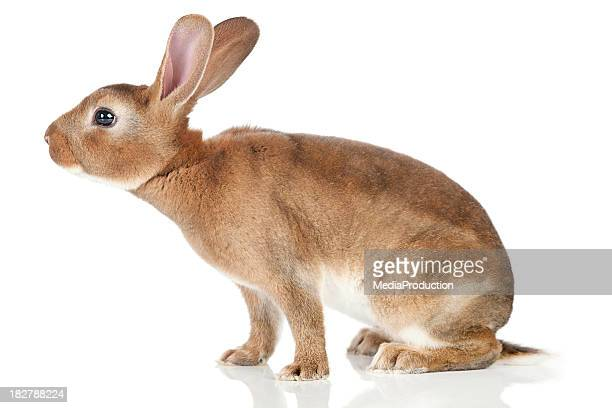 sniffing rabbit - lagomorphs stock pictures, royalty-free photos & images