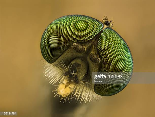 snipe fly (rhagionid) - bug eyes stock photos and pictures