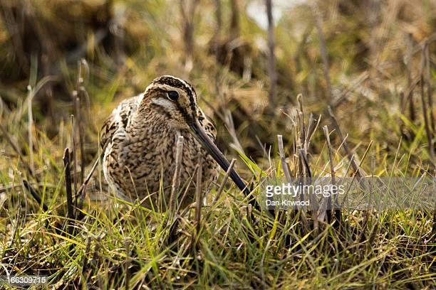 Snipe sits motionless in the grassland at Elmley Marshes on April 7 2013 in Sheerness England Many migrant species from continental Europe and North...