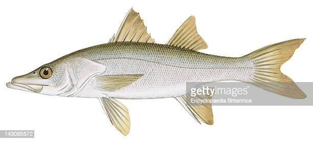 snook fish stock photos and pictures getty images