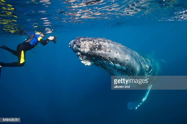 Snorkeler and Humpback Whale Megaptera novaeangliae Silver Bank Atlantic Ocean Dominican Republic