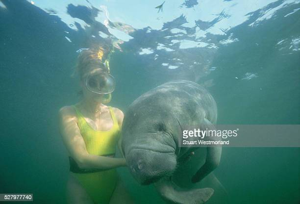 A snorkeler pets a manatee in the waters of the Crystal River in Florida