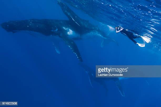 a snorkeler swimming alongside whales. - tonga stock pictures, royalty-free photos & images