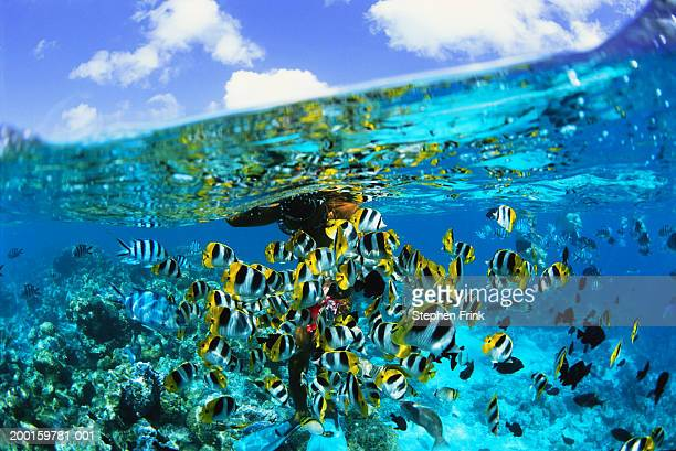snorkeler watching pacific double-saddled butterflyfish, surface view - 浅い ストックフォトと画像