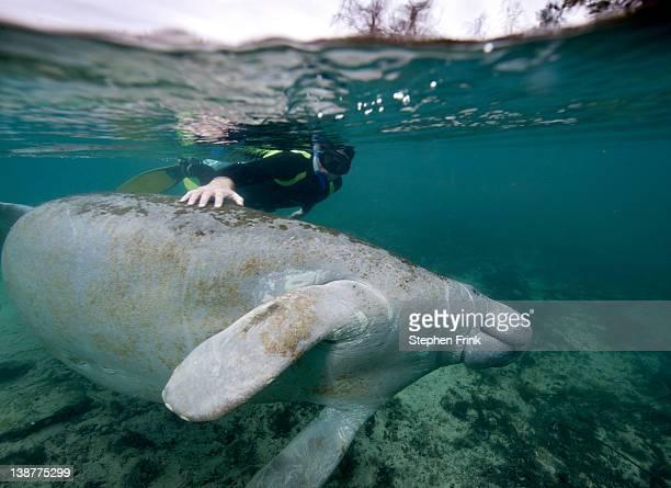 Snorkeler with Manatee