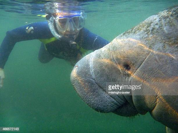 snorkeler with wild manatee underwater crystal river florida - florida manatee stock pictures, royalty-free photos & images