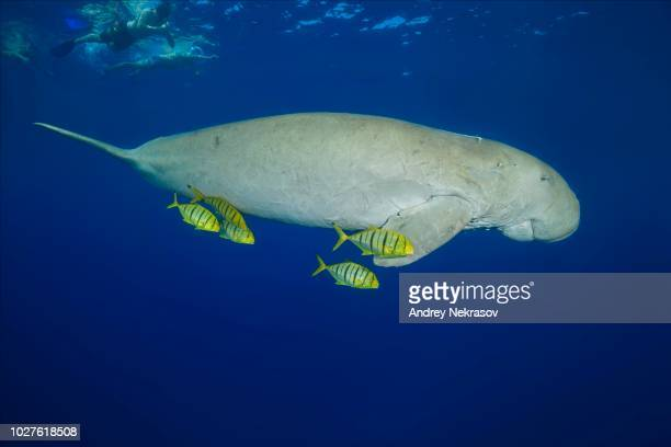 snorkelers swimming with dugong (dugong dugon) with golden trevallys (gnathanodon speciosus) under water surface, red sea, hermes bay, marsa alam, egypt - dugong stock pictures, royalty-free photos & images