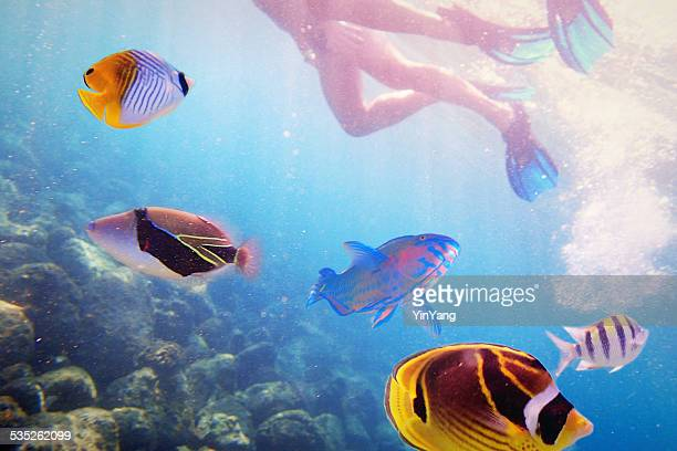snorkelers with variety of tropical reef fish in kauai, hawaii - kauai stock photos and pictures