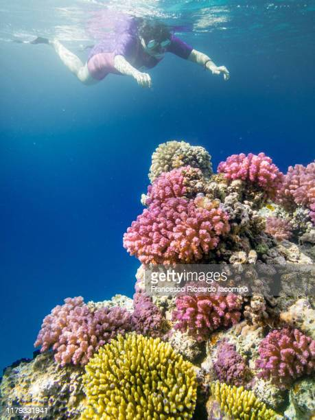 snorkeling in the coral reef - sharm el sheikh foto e immagini stock