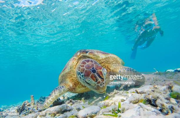 snorkeling with a sea turtle - japanese bikini models stock pictures, royalty-free photos & images