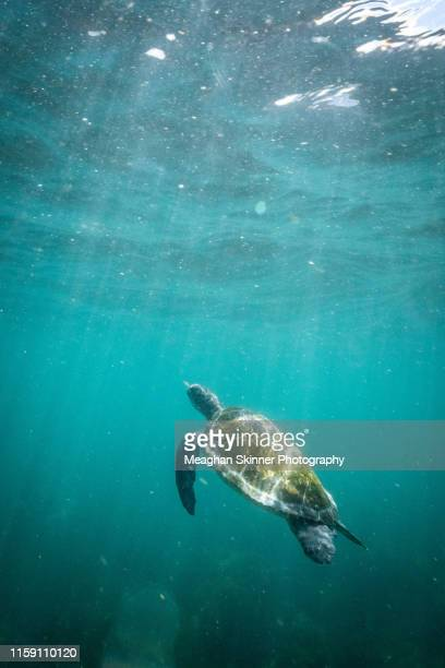snorkeling with turtles at cook island (gold coast, australia) - green turtle stock pictures, royalty-free photos & images
