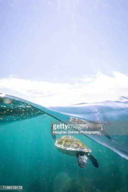 snorkeling with turtles at cook island (gold coast, australia) - gold coast queensland stock pictures, royalty-free photos & images
