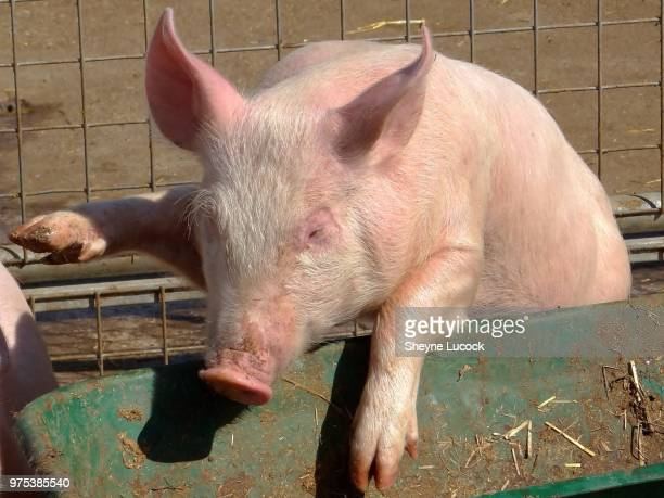 snout in the trough - pigs trough stock pictures, royalty-free photos & images