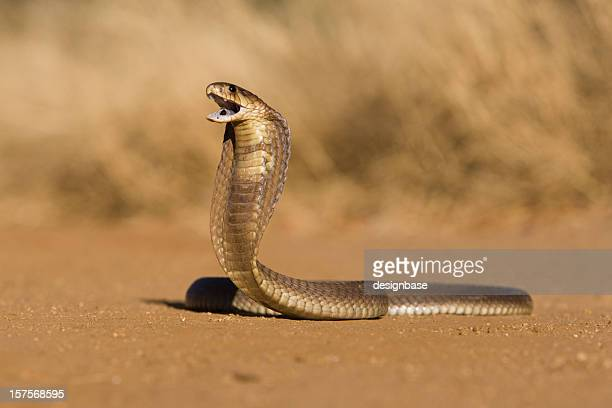 snouted cobra - snake stock pictures, royalty-free photos & images