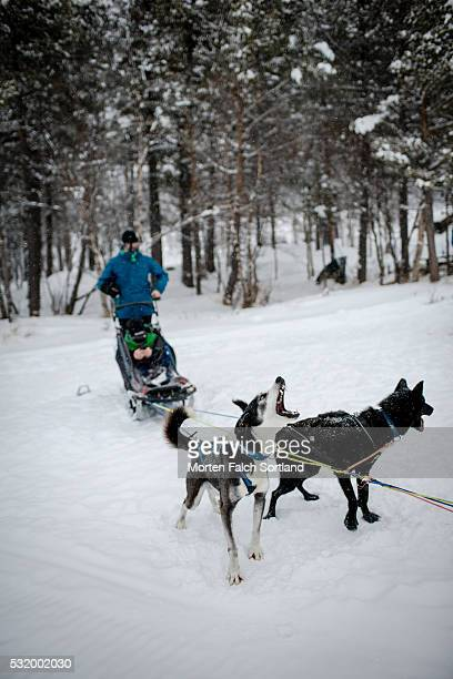 snow and dog sledding - dog sledding stock photos and pictures