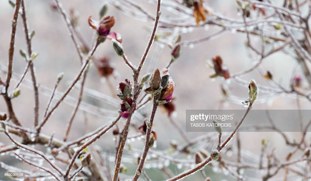 Snow and ice cover early blooms on trees near the US Capitol in Washington, DC March 14, 2017 Winter Storm Stella dumped snow and sleet Tuesday across the northeastern United States where thousands of flights were canceled and schools closed, but appeared less severe than initially forecast. After daybreak the National Weather Service (NWS) revised down its predicted snow accumulation, saying that the storm had moved across the coast. PHOTO / Tasos Katopodis
