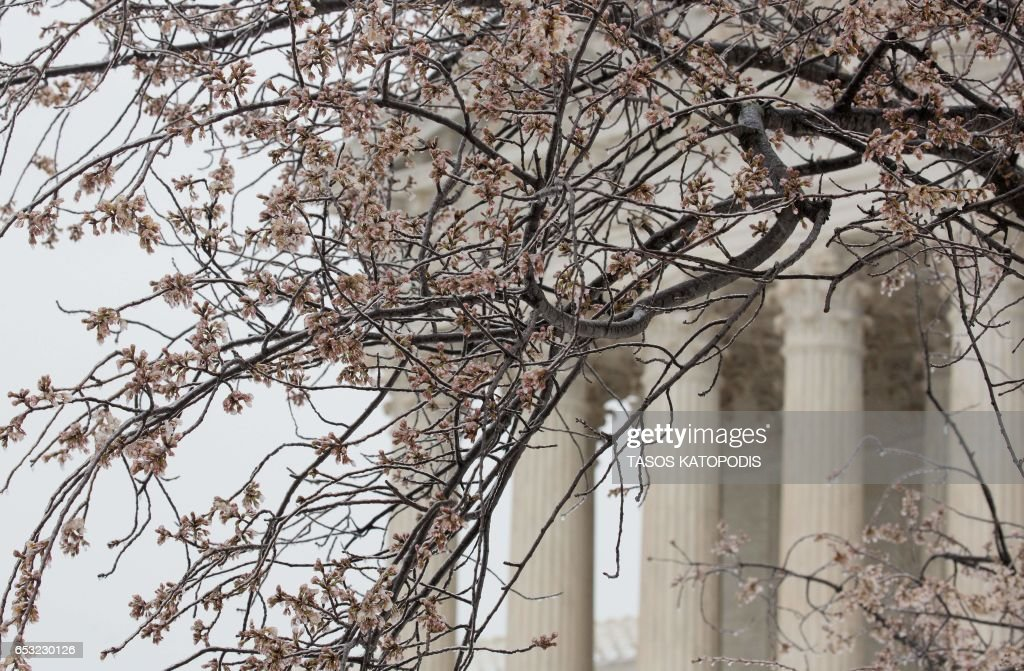 Snow and ice covers early blooms on trees near the US Capitol in Washington, DC March 14, 2017 Winter Storm Stella dumped snow and sleet Tuesday across the northeastern United States where thousands of flights were canceled and schools closed, but appeared less severe than initially forecast. After daybreak the National Weather Service (NWS) revised down its predicted snow accumulation, saying that the storm had moved across the coast. PHOTO / Tasos Katopodis