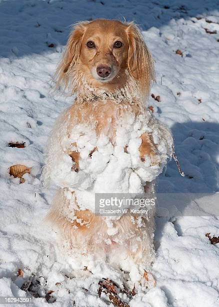 snow bunny honey - long haired dachshund stock photos and pictures