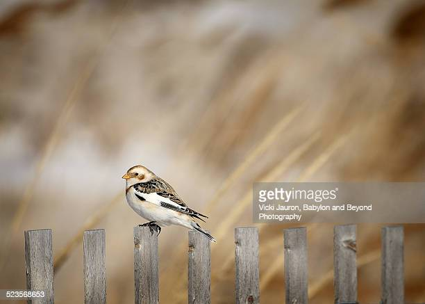 snow bunting on fence at jones beach - wantagh stock pictures, royalty-free photos & images