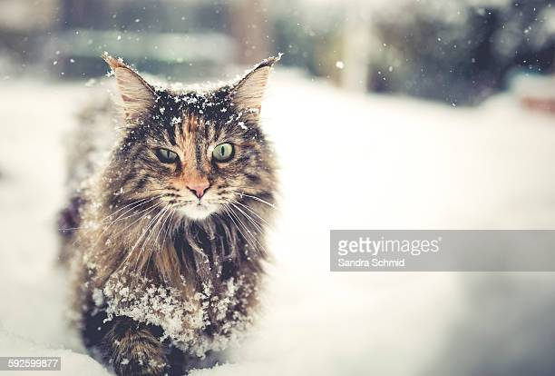 snow cat - norwegian forest cat stock photos and pictures