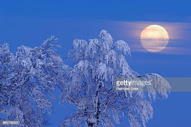 Snow covered beech trees and full moon