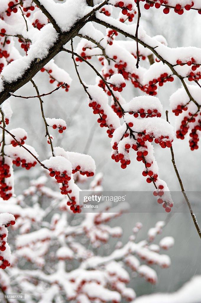 雪で覆われたベリー : ストックフォト