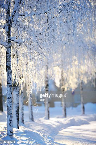 Snow covered birch trees