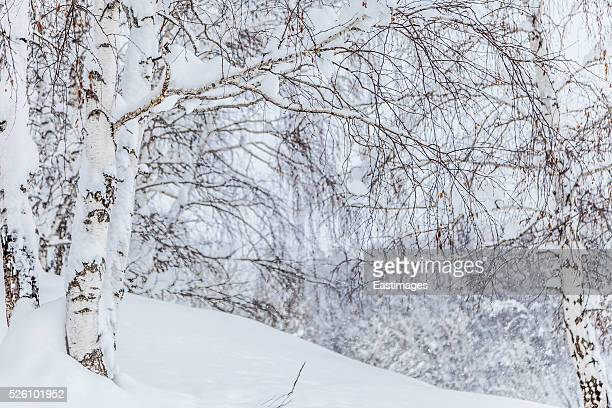 Snow covered branches of tree