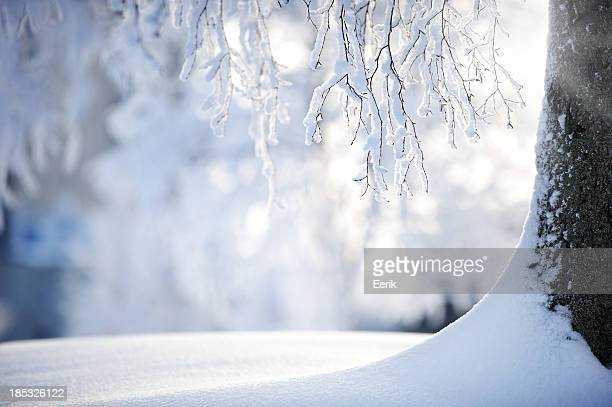 Snow covered branches on a birch tree