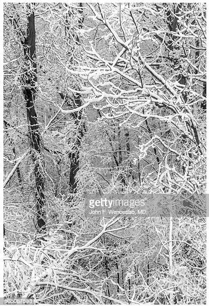 snow covered branches - black and white instant print stock pictures, royalty-free photos & images