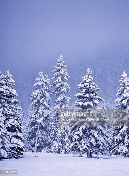 Snow covered Douglas fir trees